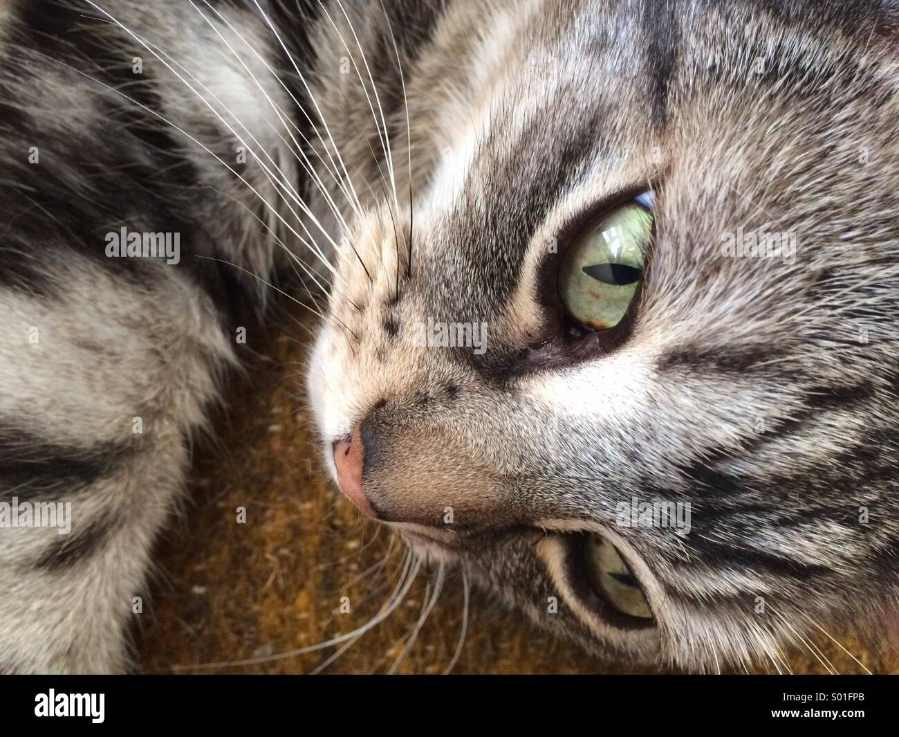 Lazy tabby cat on bed resting - Stock Image