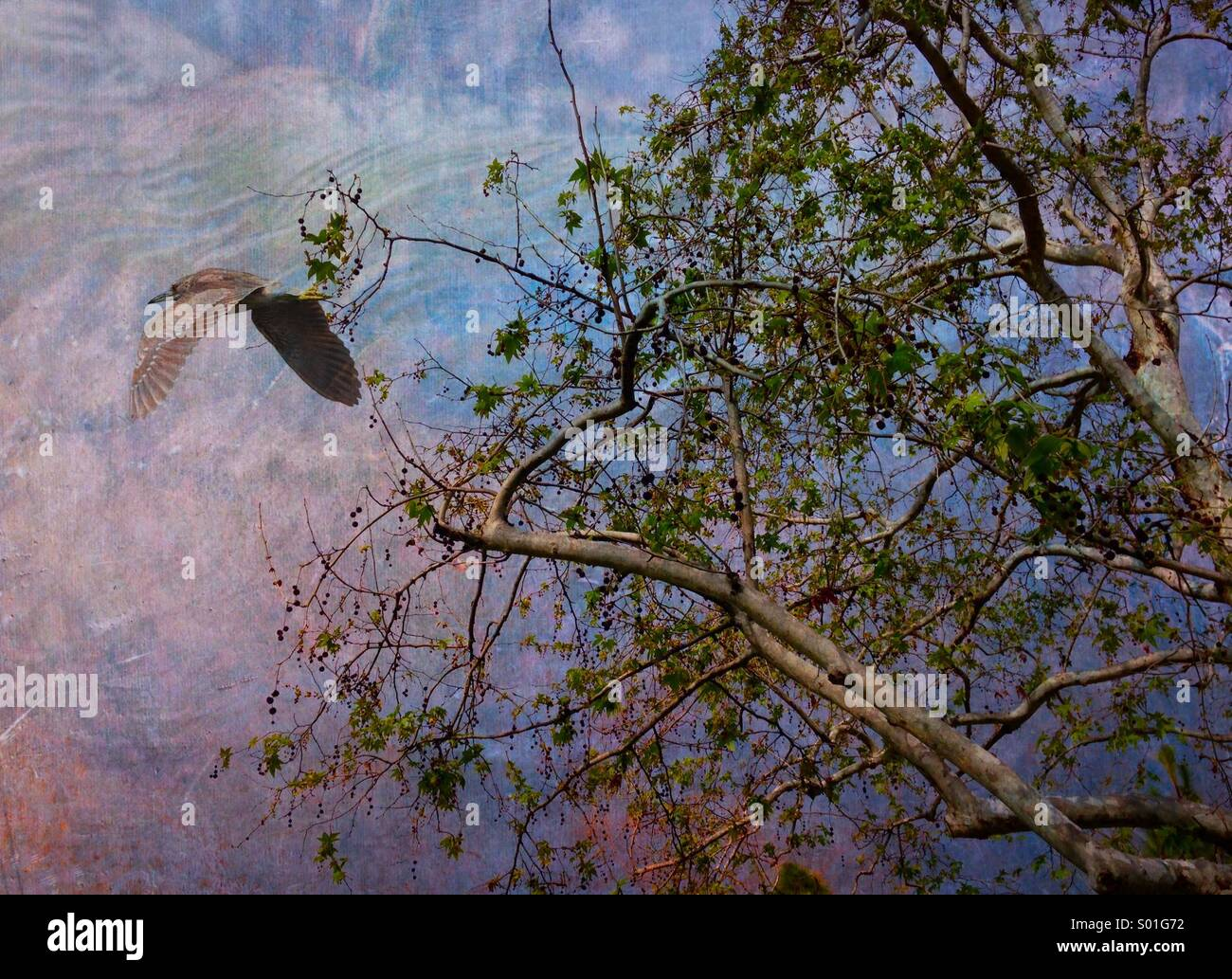 Night Heron in flight, Textured - Stock Image