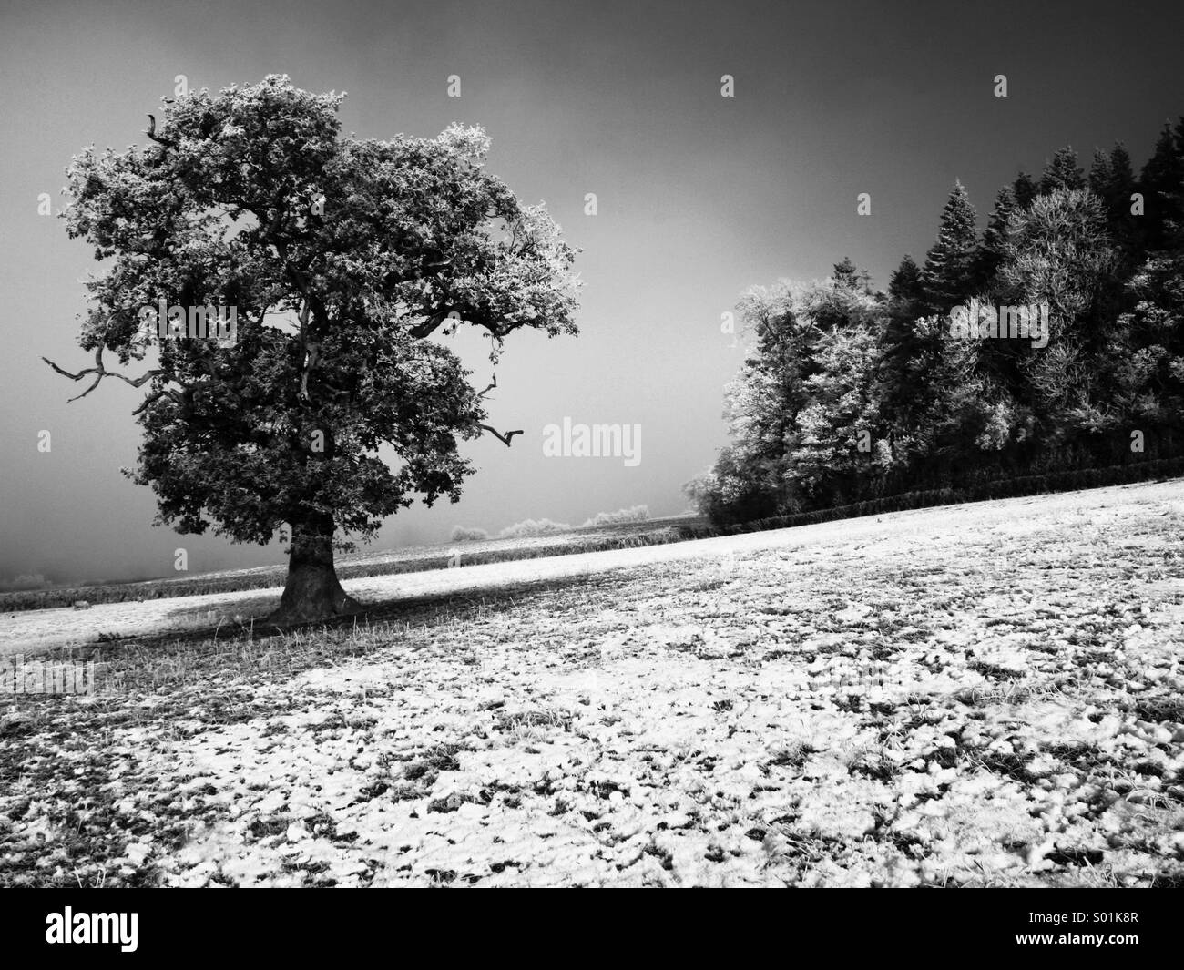 Oak tree in a Winter mist - Stock Image