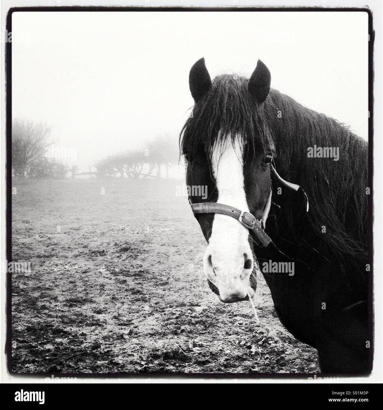Black and white horse stood in misty field - Stock Image