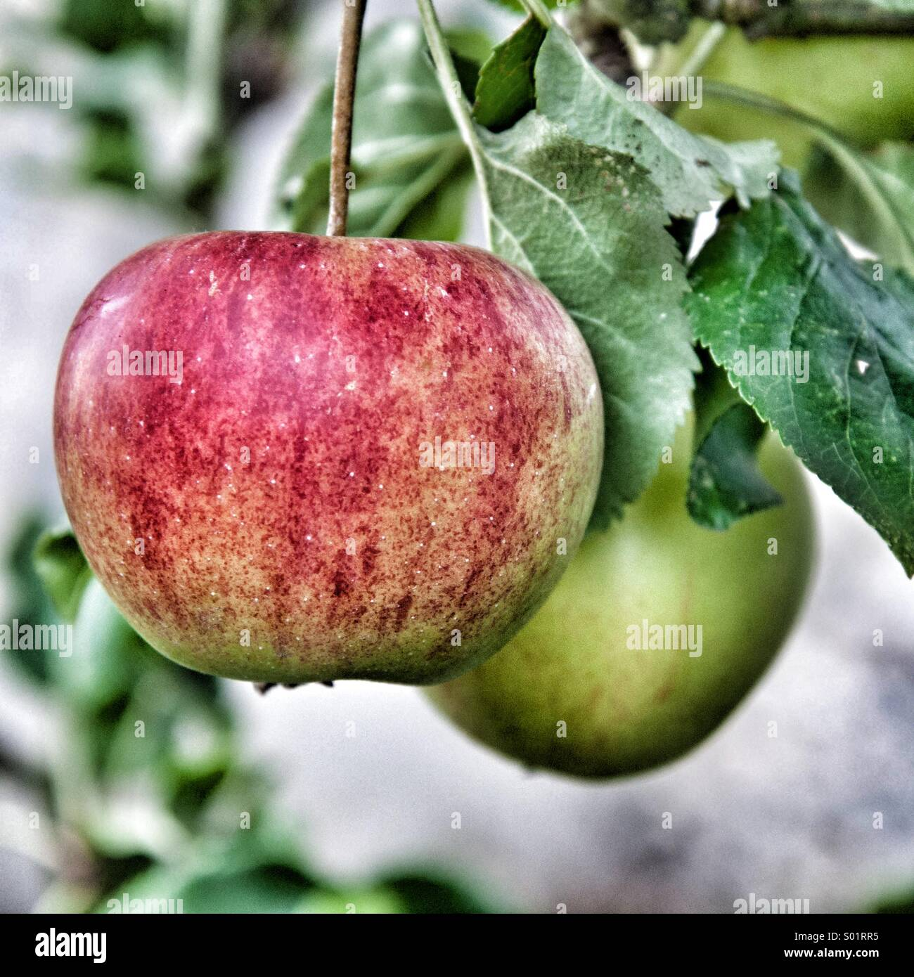 Ripe apples hanging on the tree - Stock Image