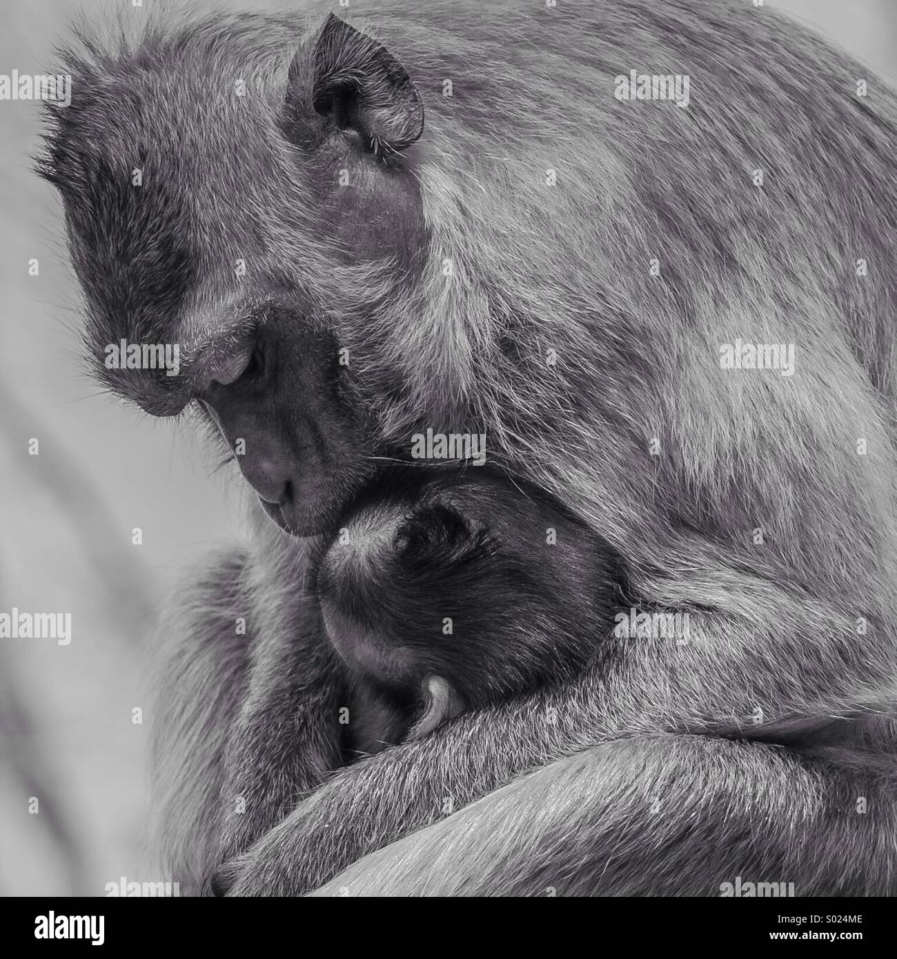 Monkey love - Stock Image