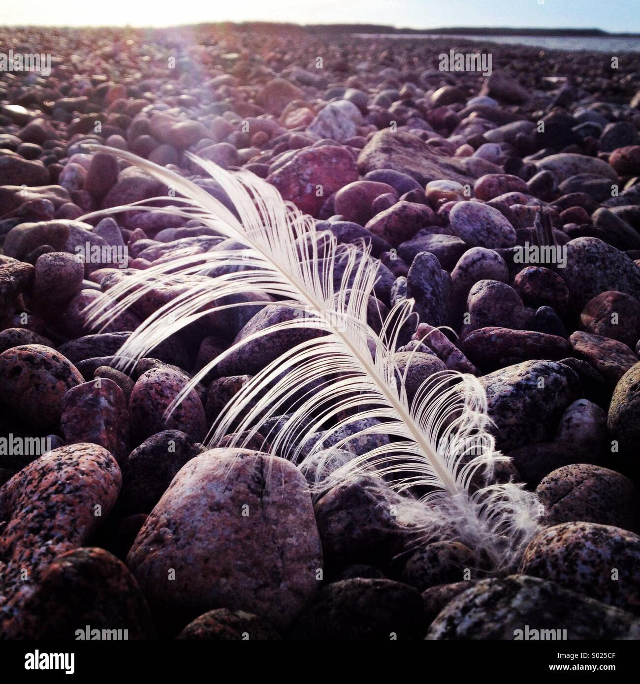 A single while feather in the wind on a Baltic pebbled beach - Stock Image