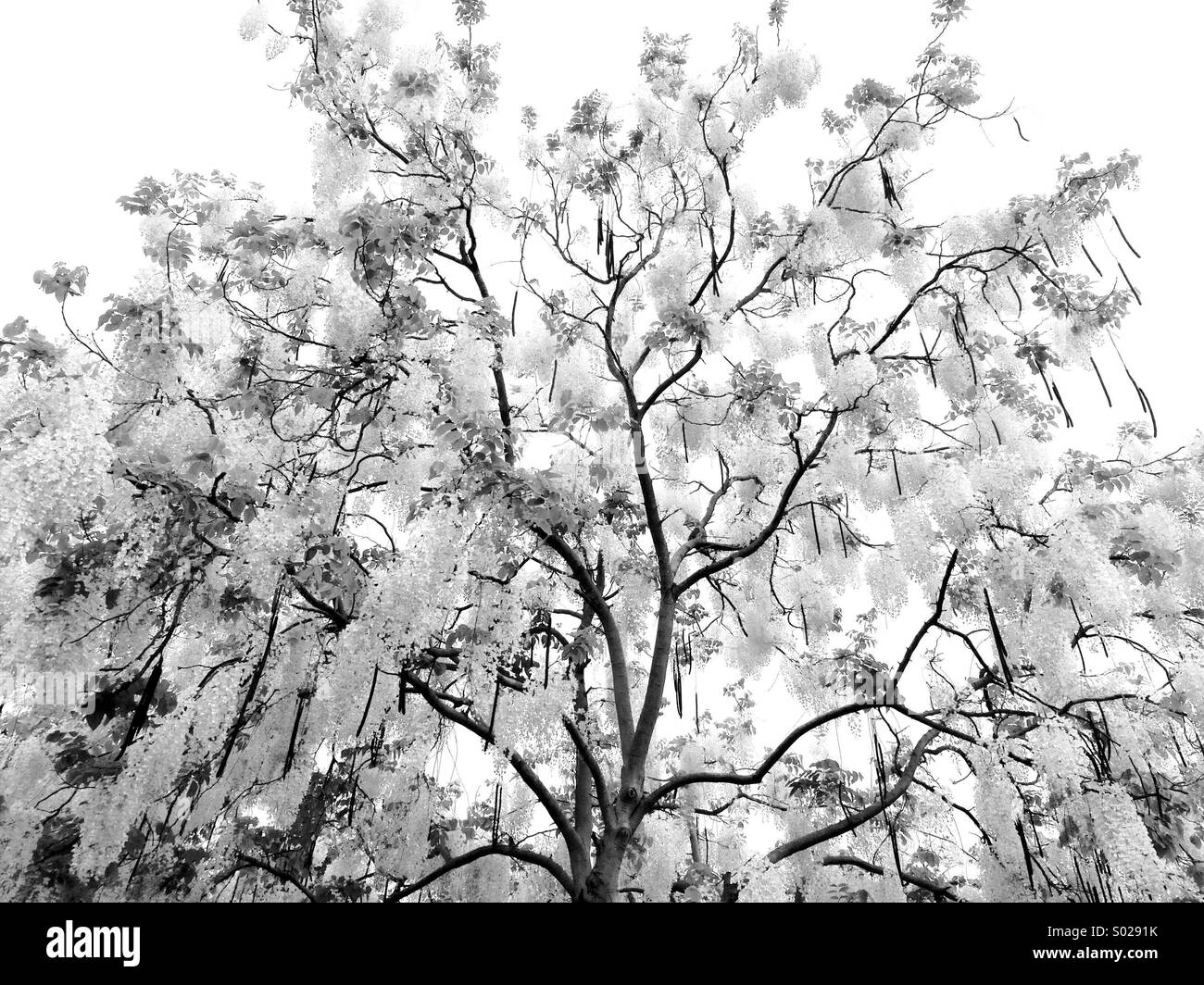 Black and white noir tree - Stock Image