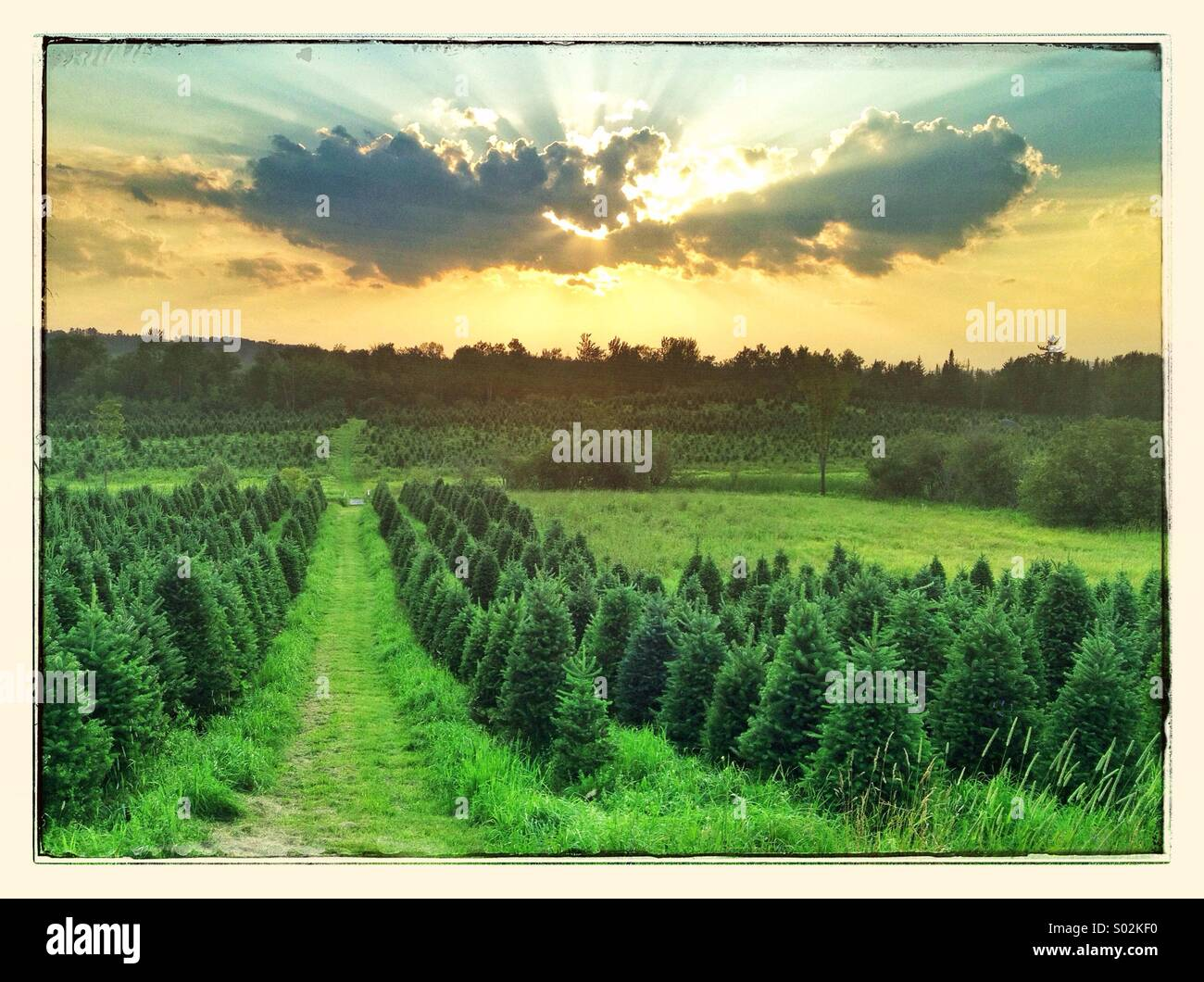 Rows of Christmas Trees at a Christmas tree farm in Bethlehem, New Hampshire. - Stock Image