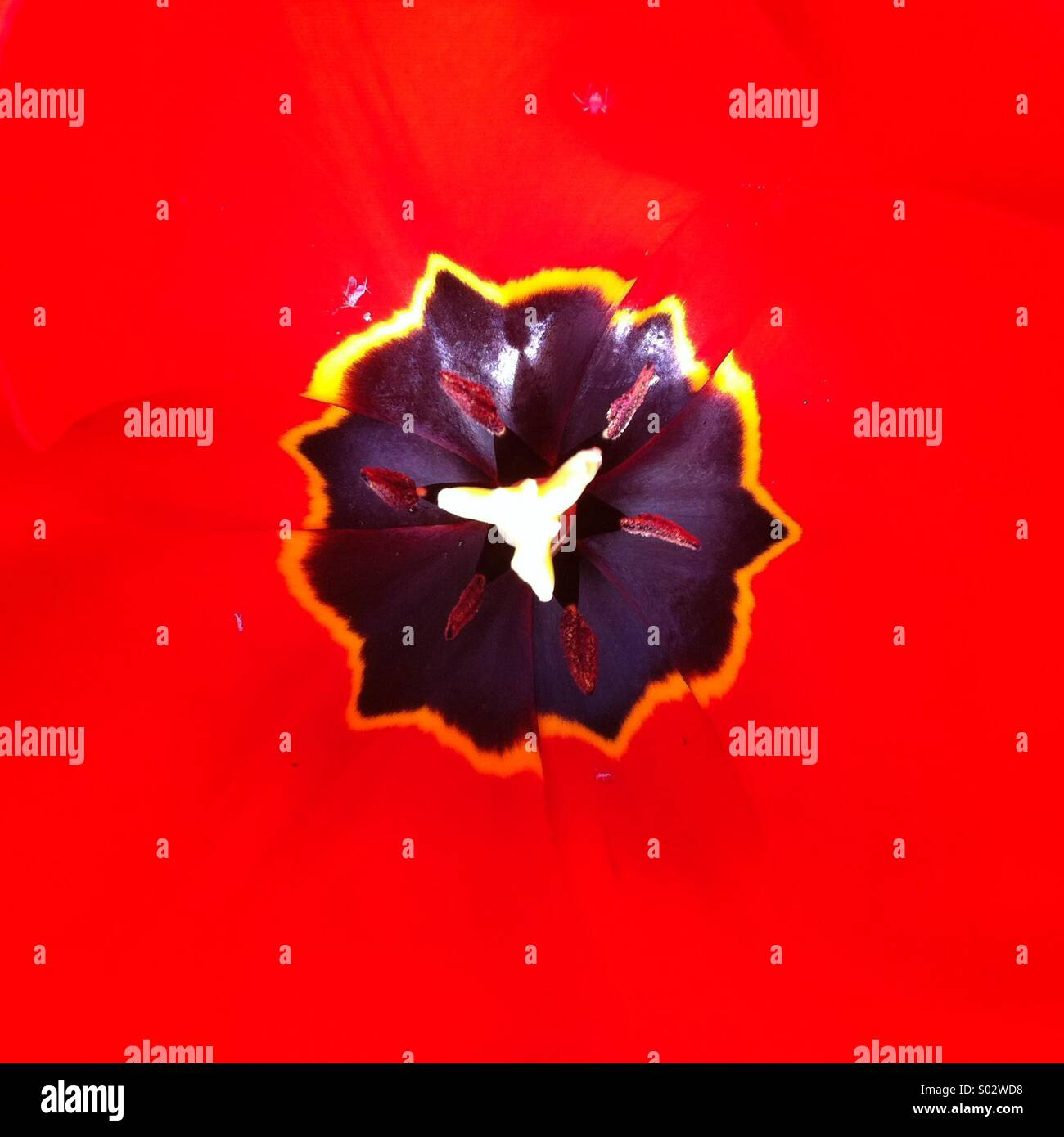 Black uneven shape on strong red background Tulip flower close up - Stock Image