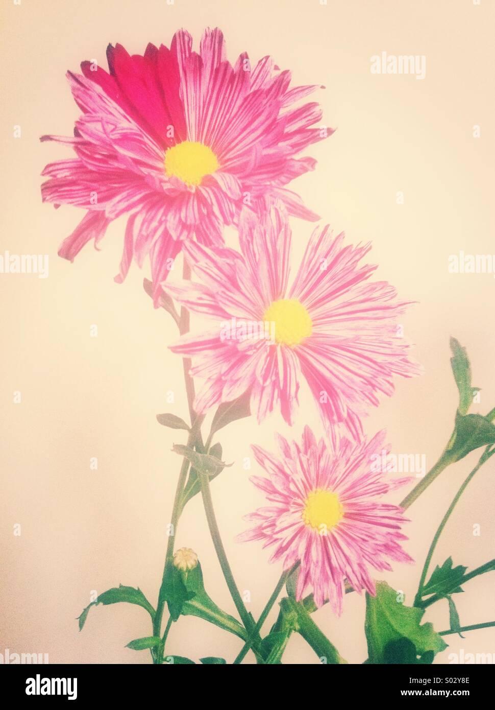 Pink chrysanthemum flowers - Stock Image
