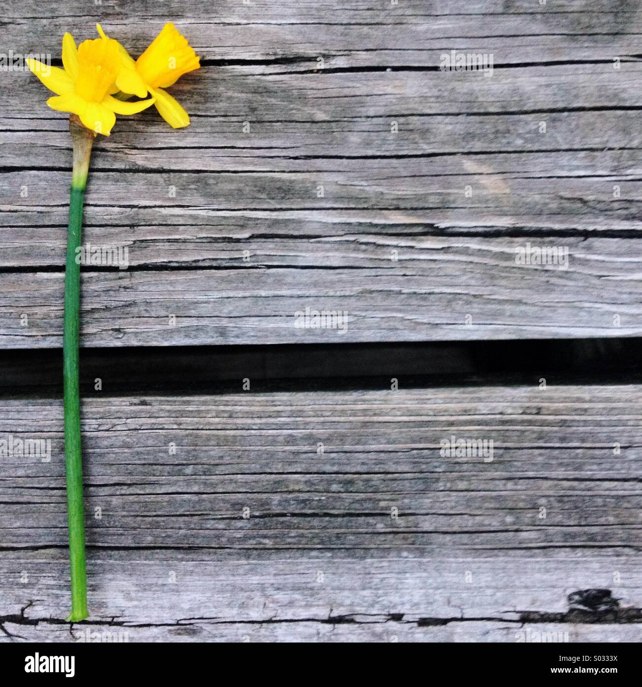 A double headed daffodil rests on a wooden background - Stock Image