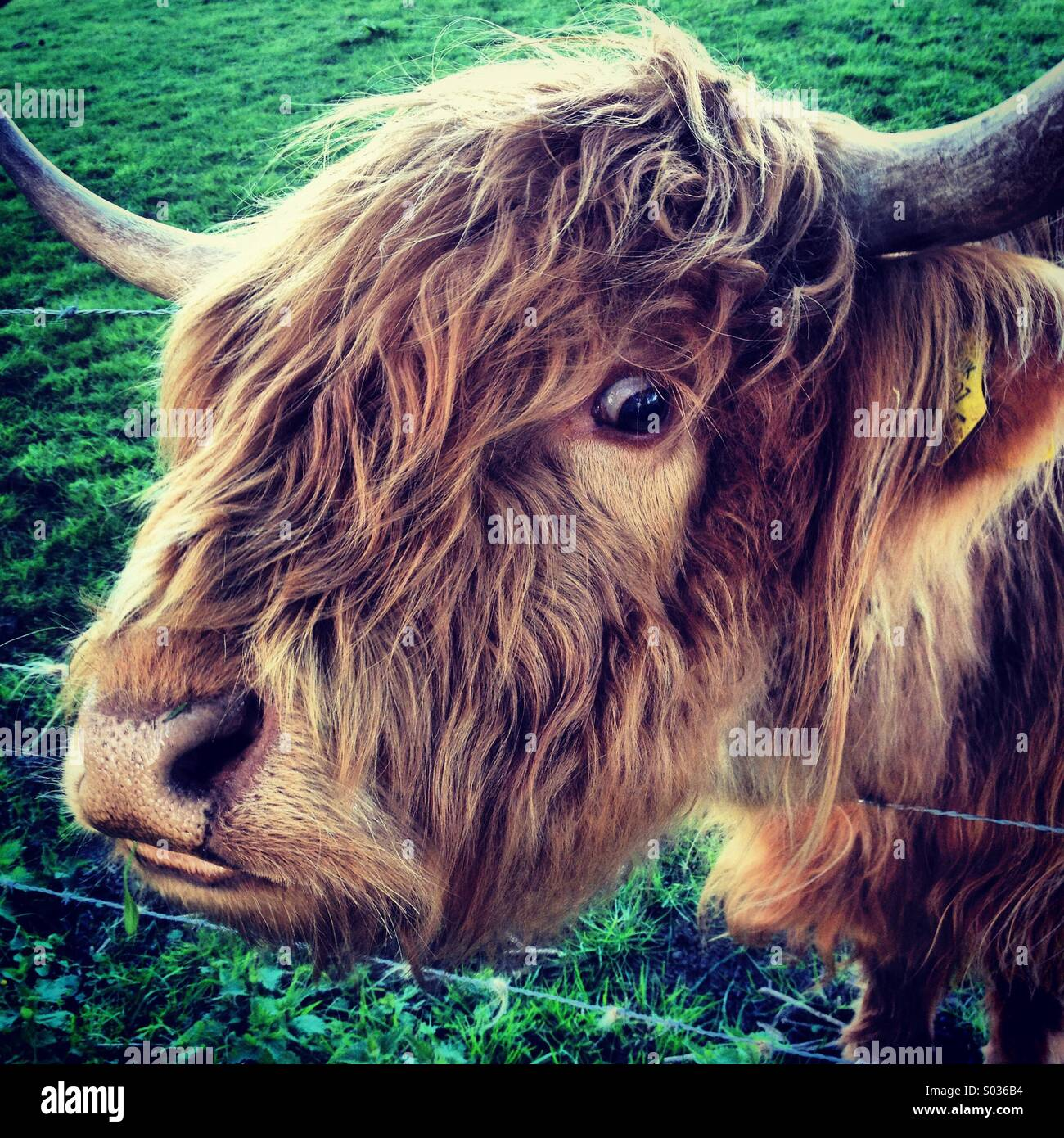 Highland cow, Sutton-under-Brailes, Oxfordshire. - Stock Image