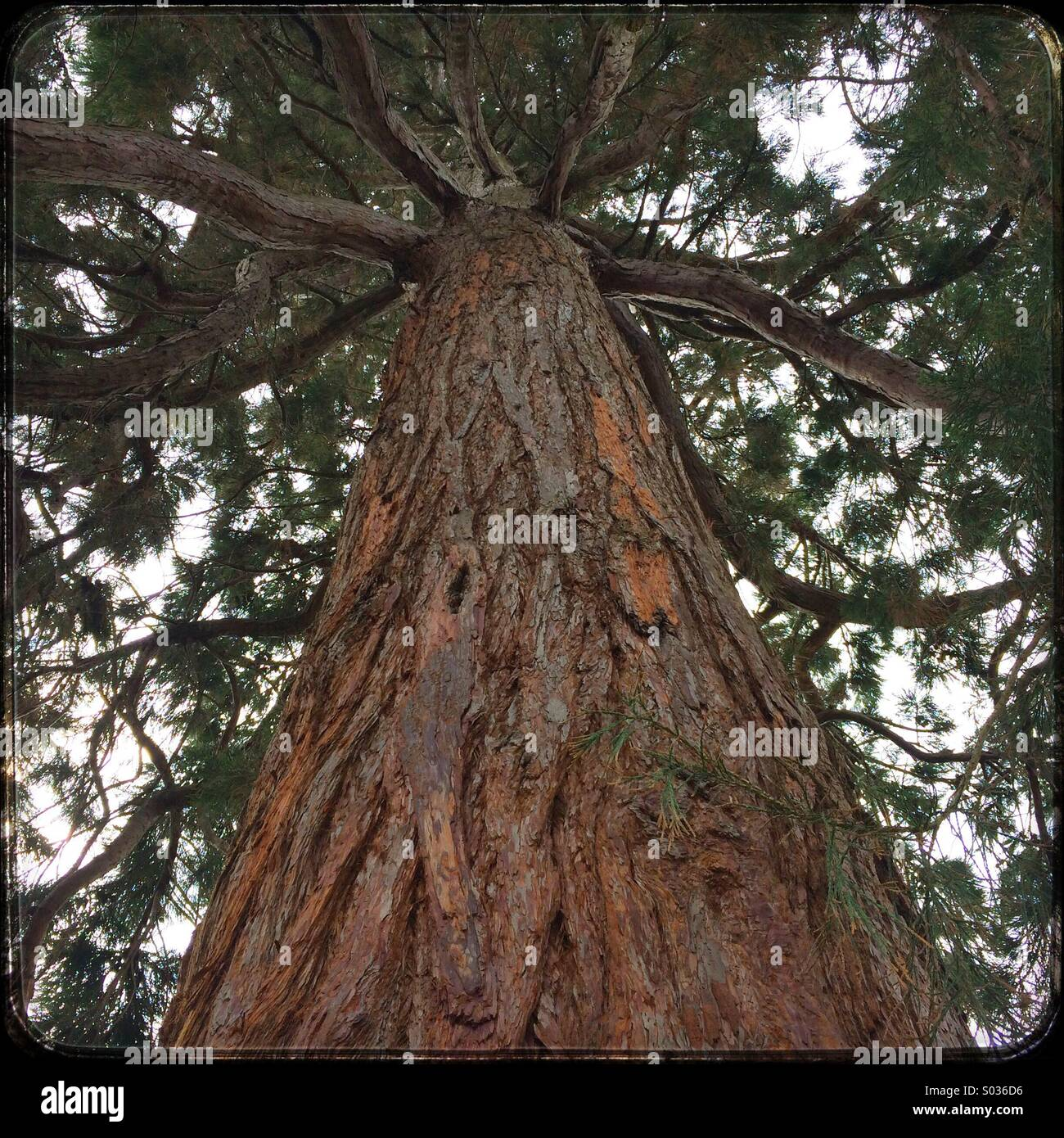 Fir tree growing tall giving the appearance that is is reaching up to the sky. - Stock Image