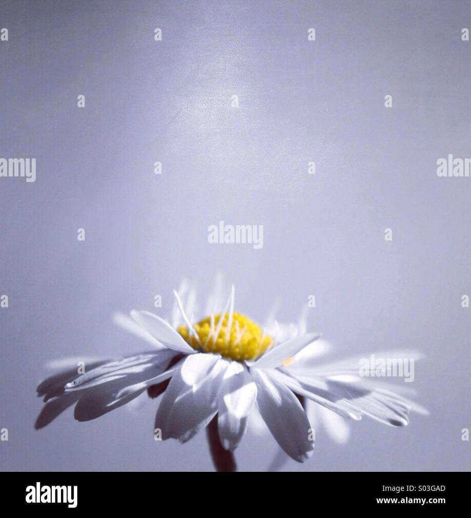 Daisy splash - Stock Image