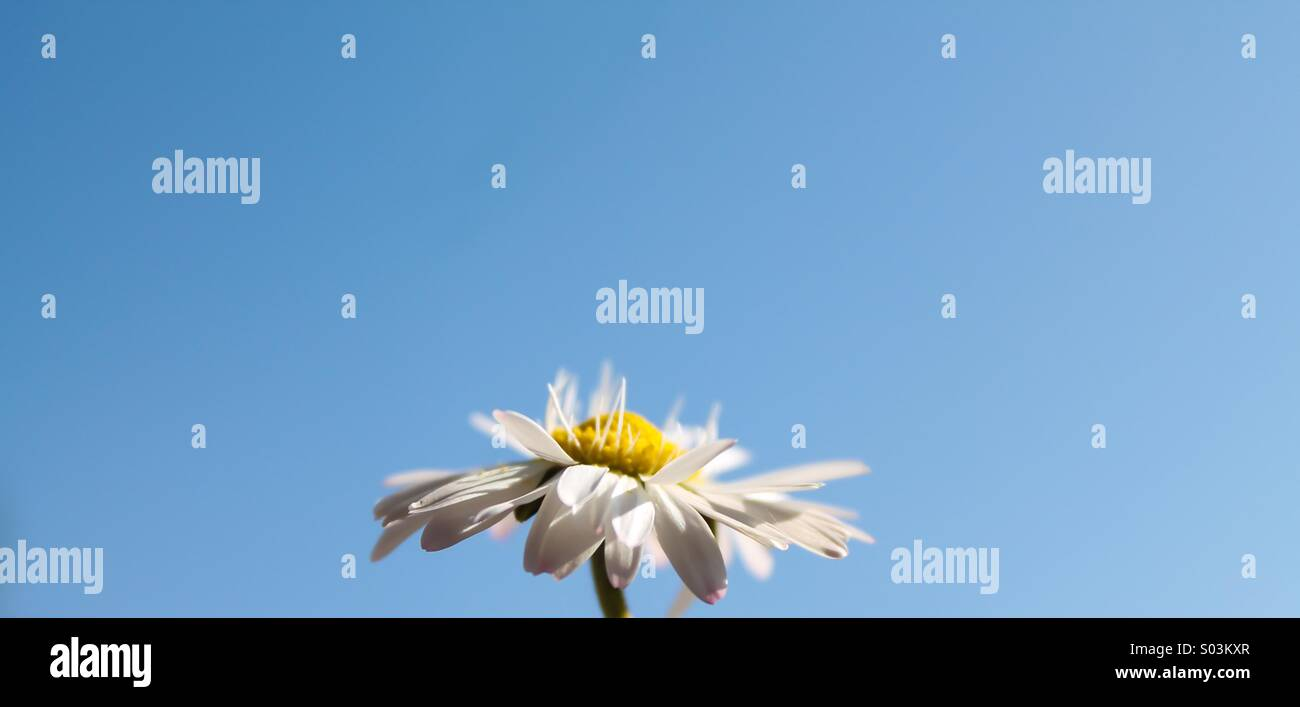Daisy in spring - Stock Image