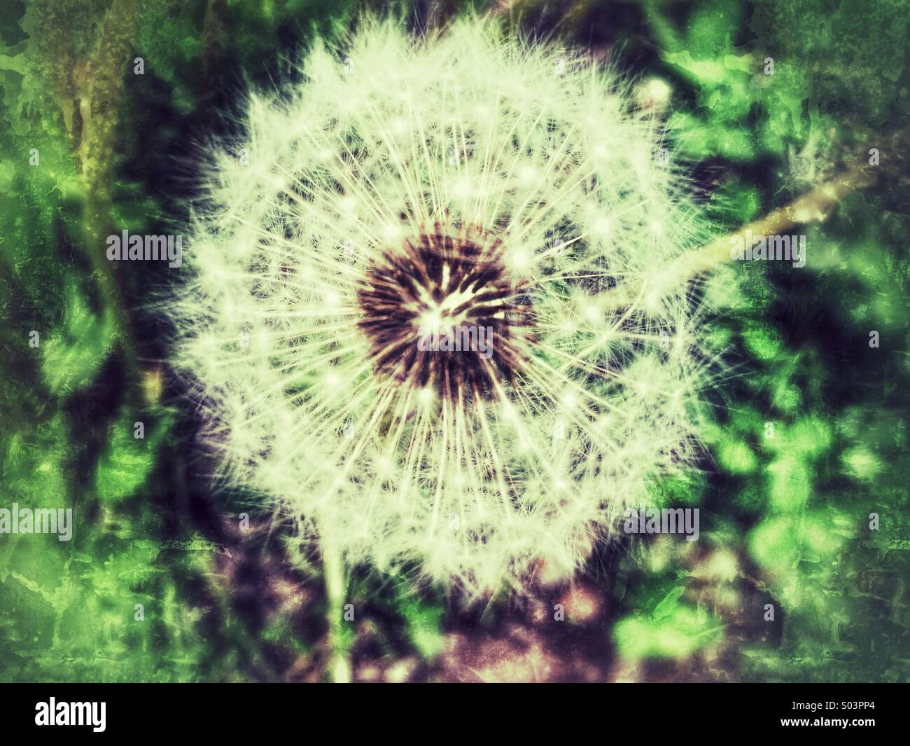 A lone dandelion ready to disperse it's seeds - Stock Image