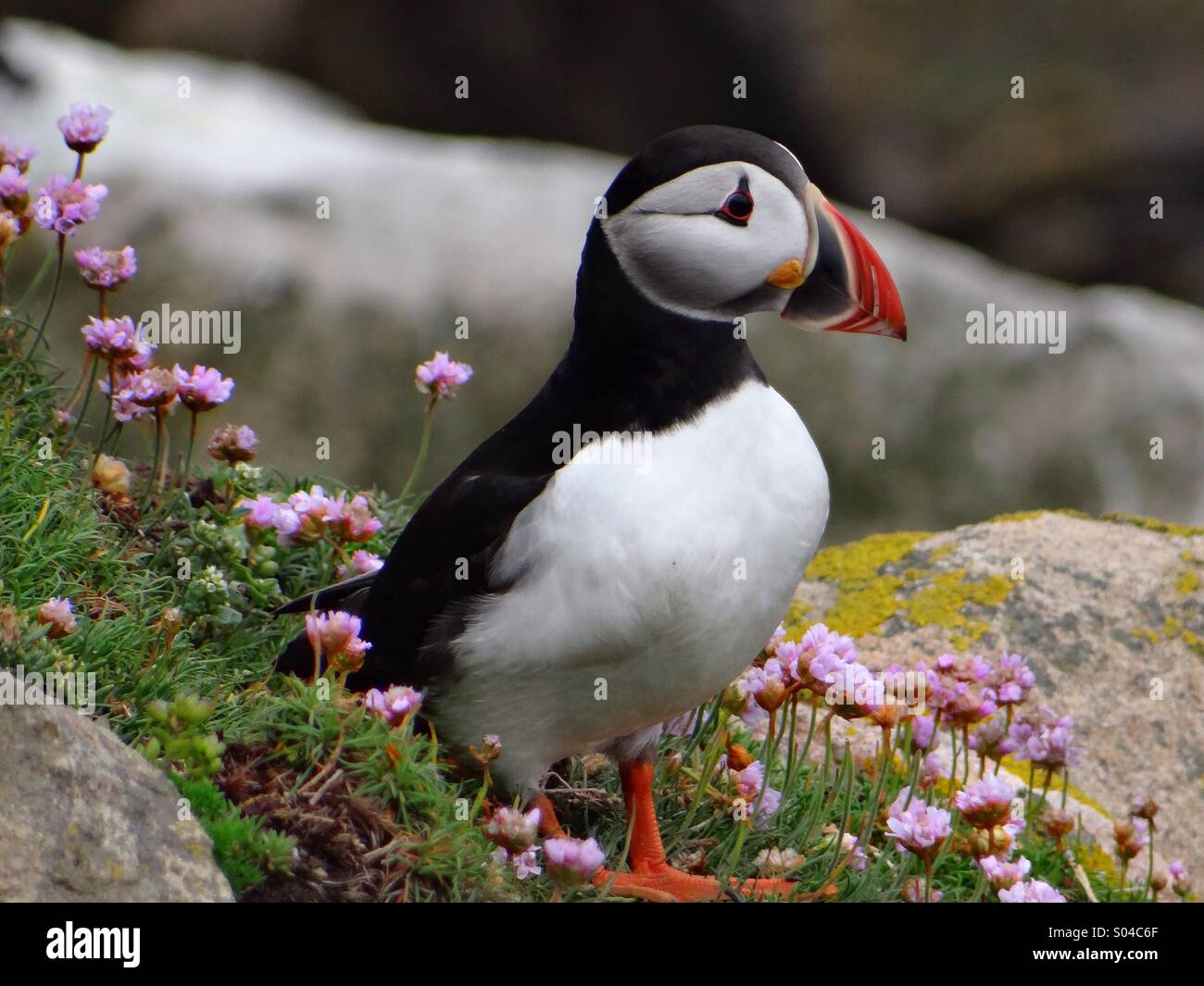 Puffin - Stock Image