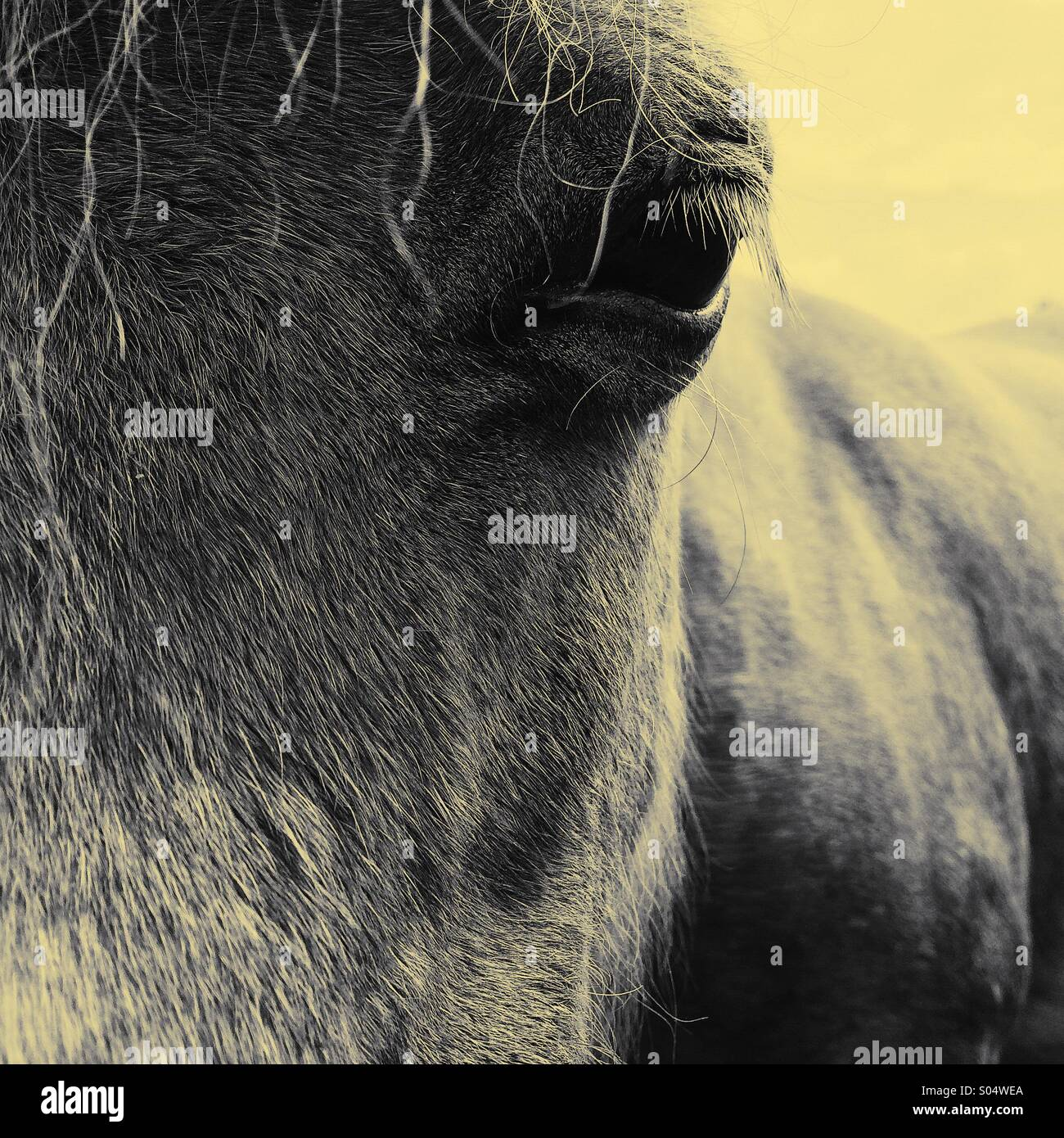 Horse face and eye close up - Stock Image