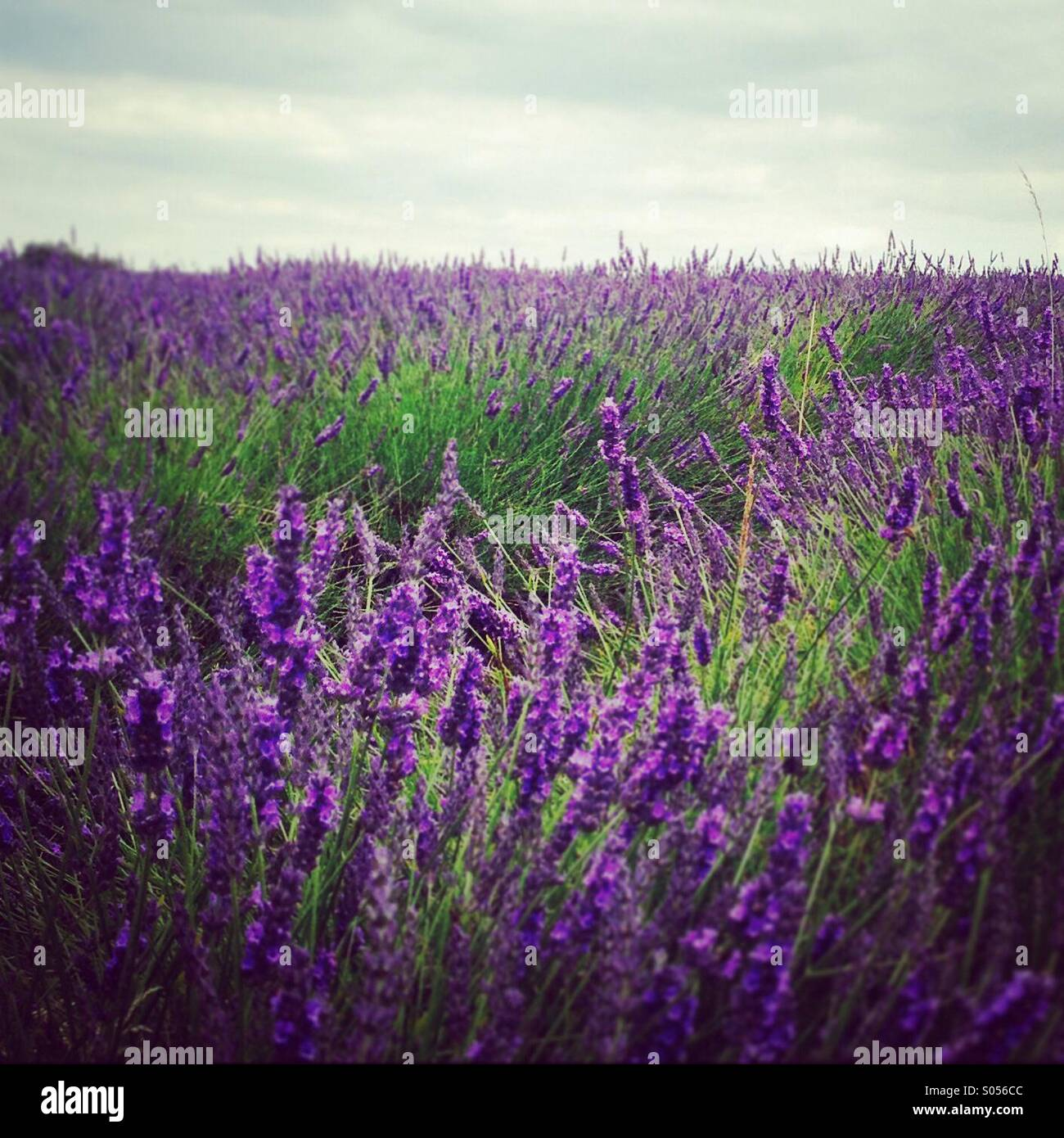 Field of lavender - Stock Image