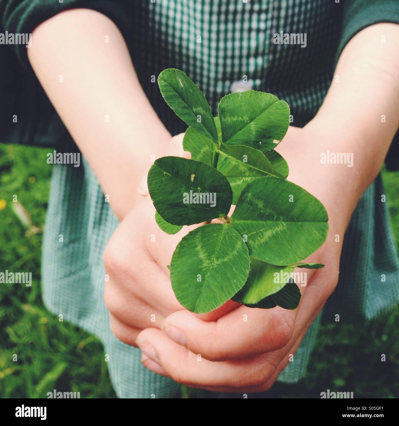 Close up of child holding green clover in hands. - Stock Image