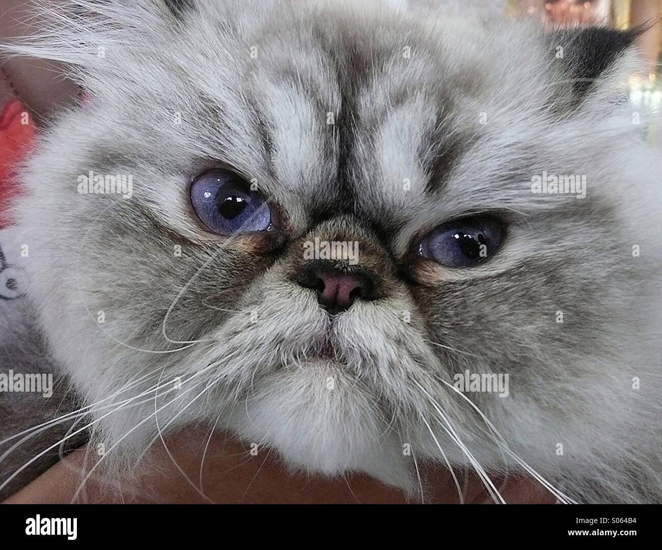 Cat face close-up - Stock Image