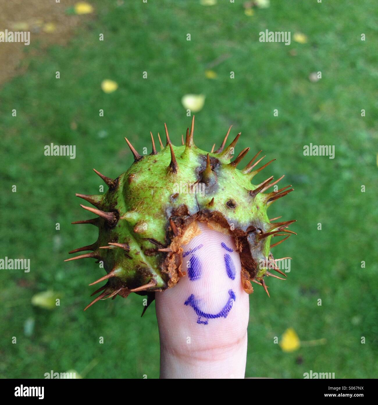 Conker prickly skin on thumb - Stock Image