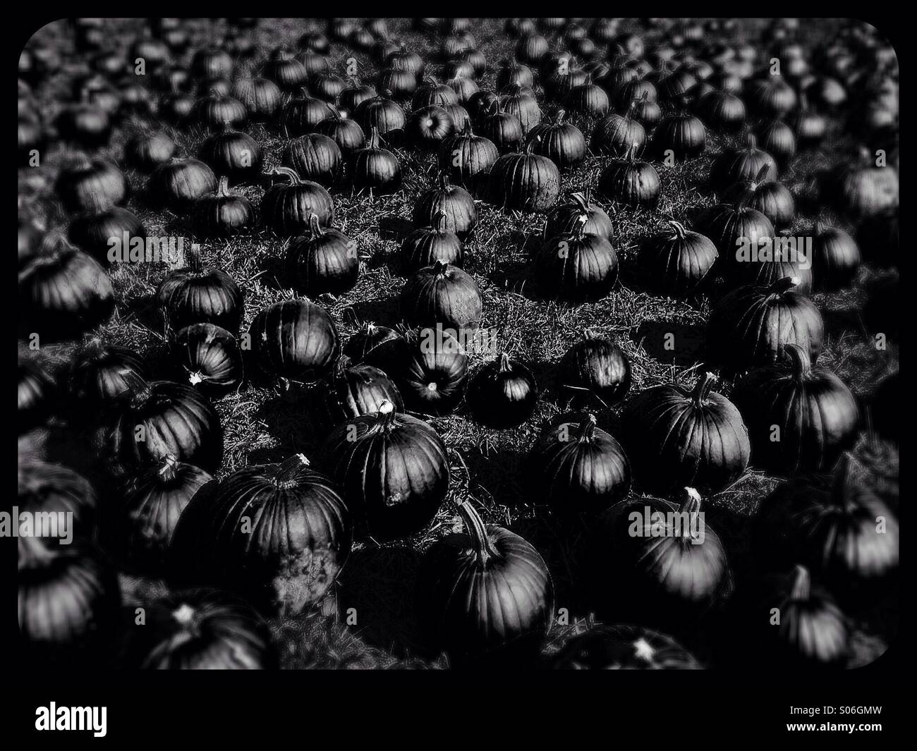 A field of pumpkins, in black and white. - Stock Image