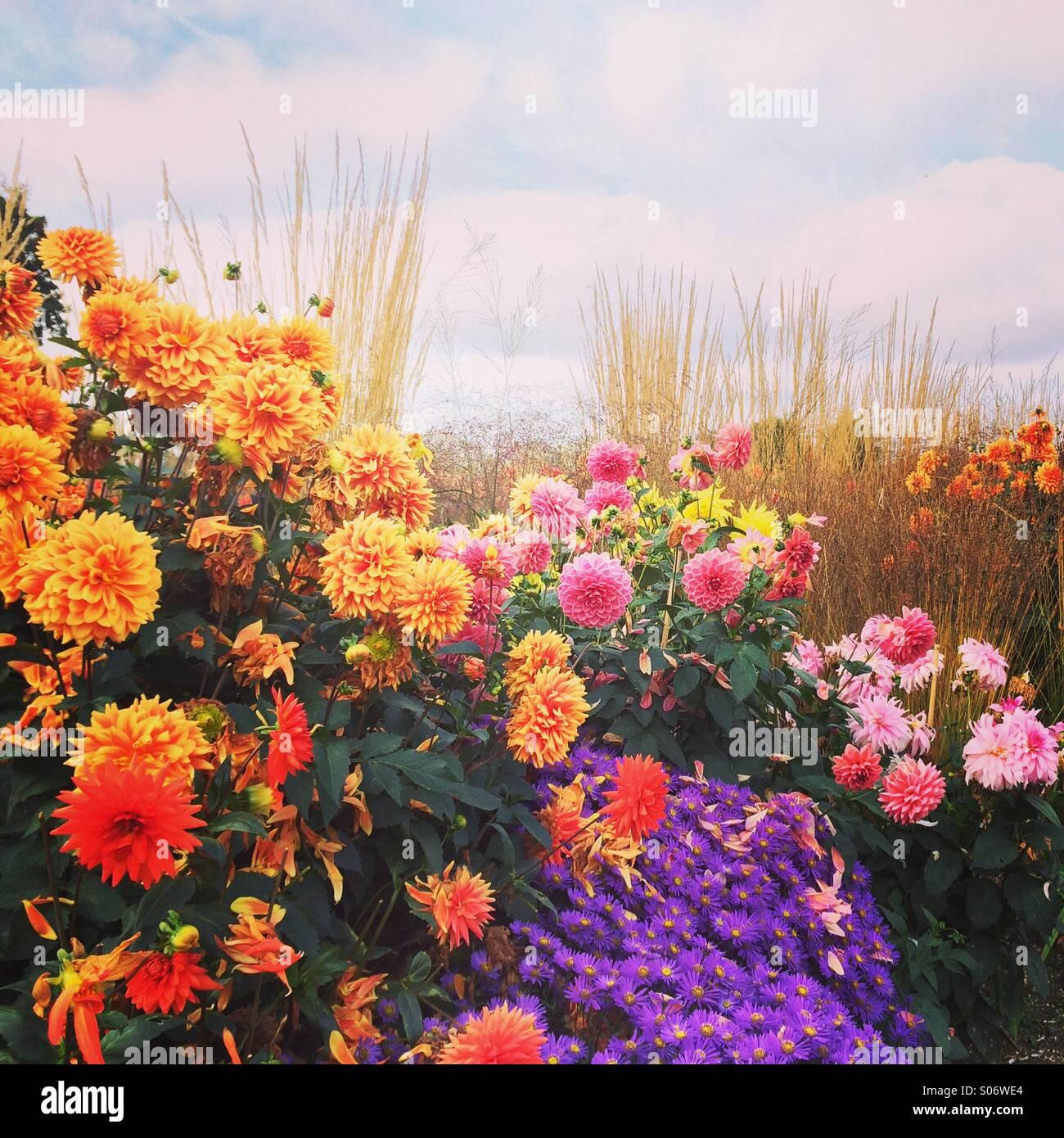 Dahlias in autumn - Stock Image