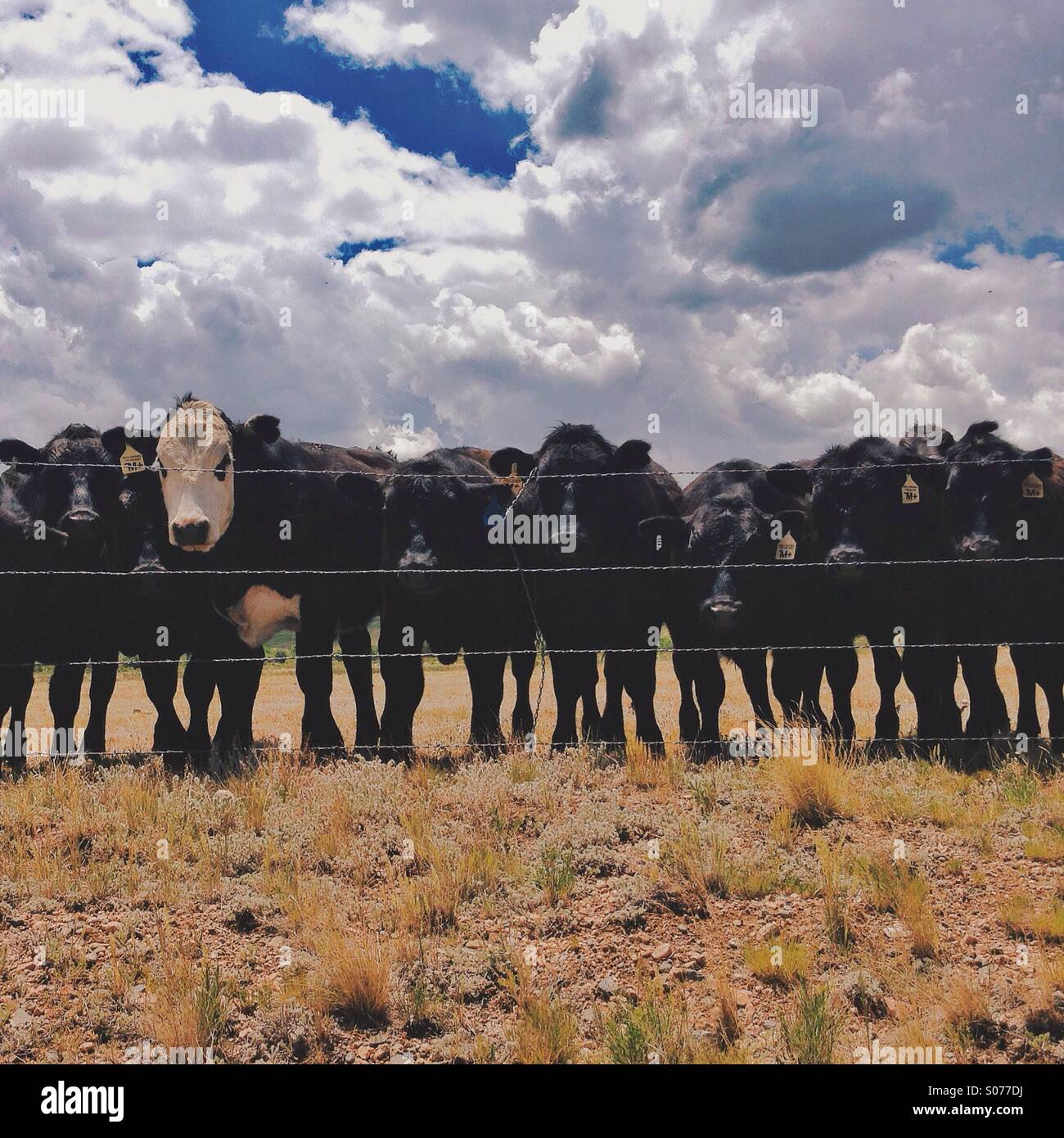 Row of Cows - Stock Image