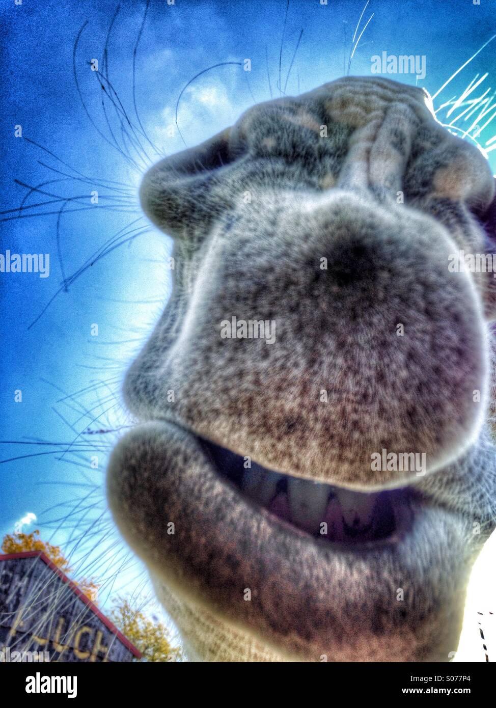 A mammoth donkey's lips. - Stock Image