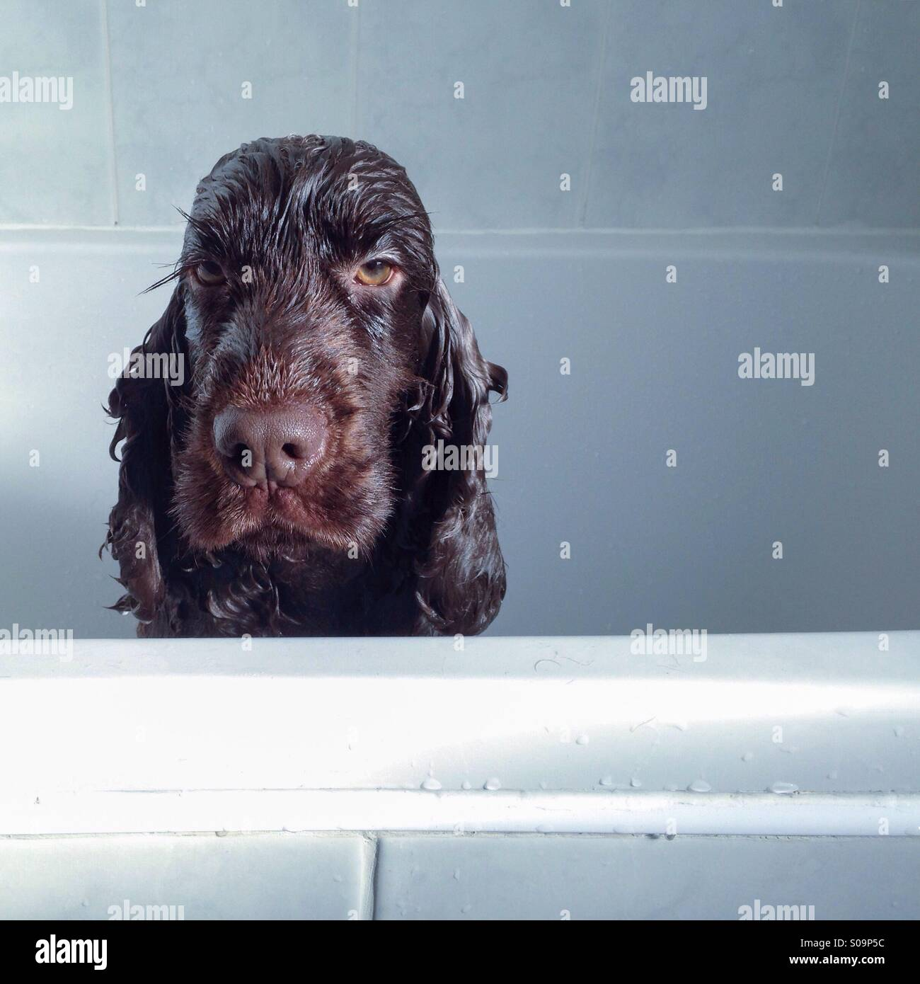 I hate Sunday bath - Stock Image