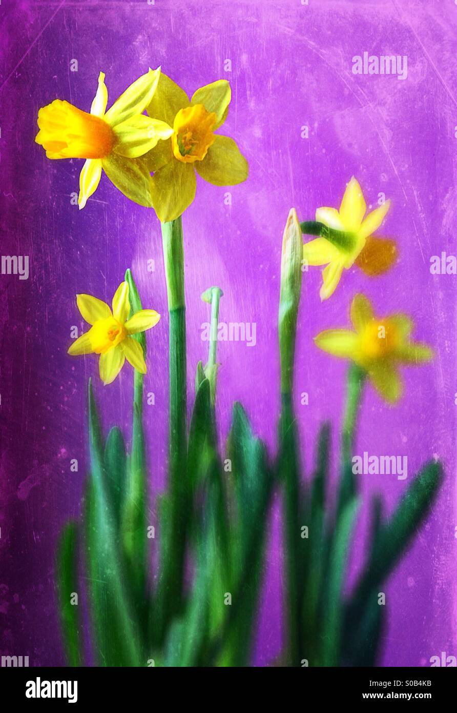 Daffodils against a purple background. - Stock Image