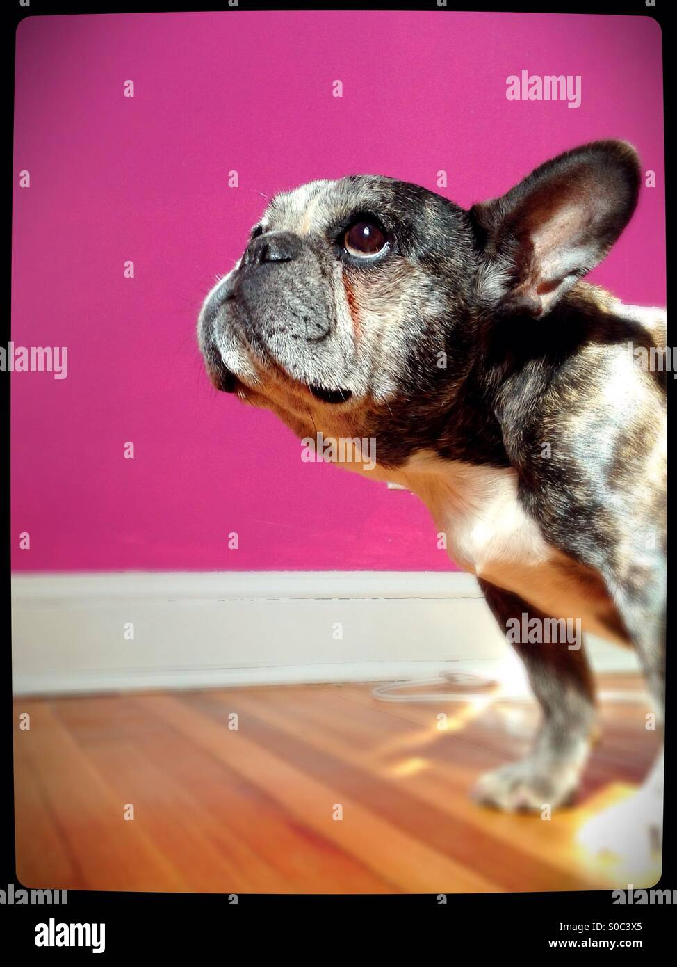 An old French bulldog, looking innocent. - Stock Image