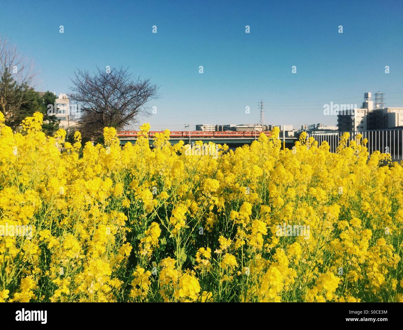 Vibrant yellow field mustard on foreground with red Keikyu train and blue sky in background, taken at Tsurumi Ward - Stock Image