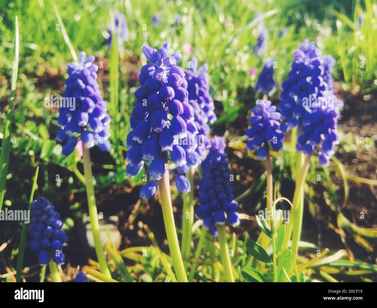 Pretty, purple Muscari or grape hyacinth on sloping hill with dirt and green grass. - Stock Image