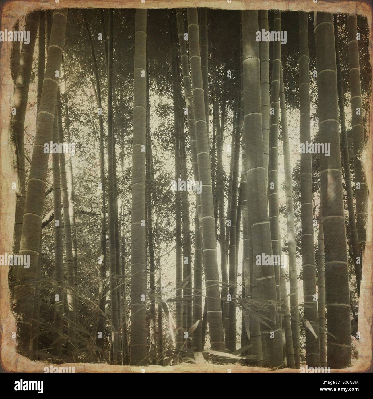 Bamboo grove with vintage paper texture overlay. - Stock Image