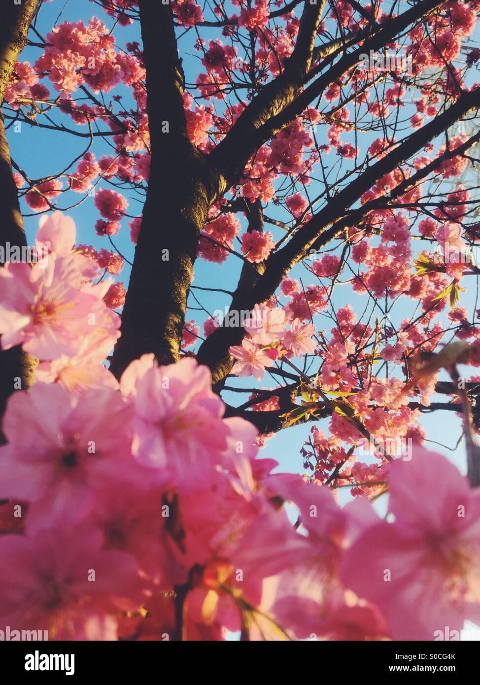 Beautiful pink sakura or cherry blossoms, bathed with orange sunset glow. - Stock Image