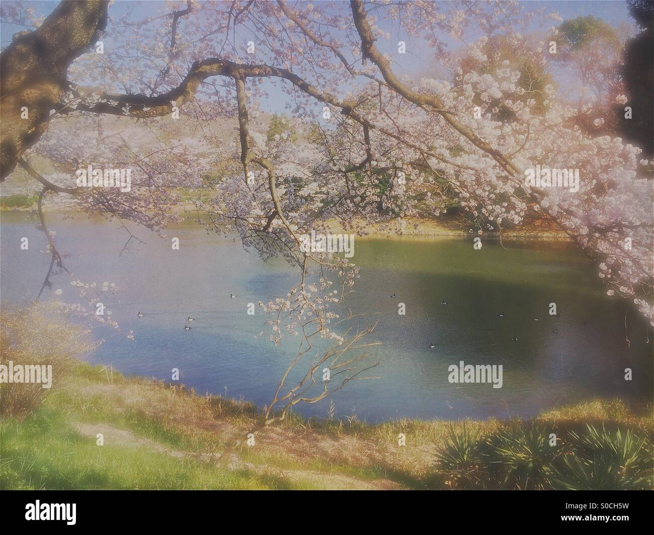 Lovely pond in Spring with ducks surrounded by white cherry blossoms. Vintage, painterly textures overlay and soft - Stock Image