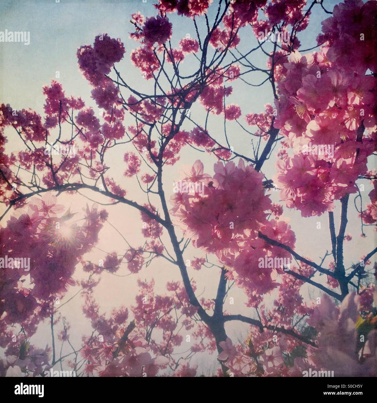 Backlit Yokohamahizakura, a variety of Sakura or cherry blossom with deep pink color. Vignette and vintage paper - Stock Image