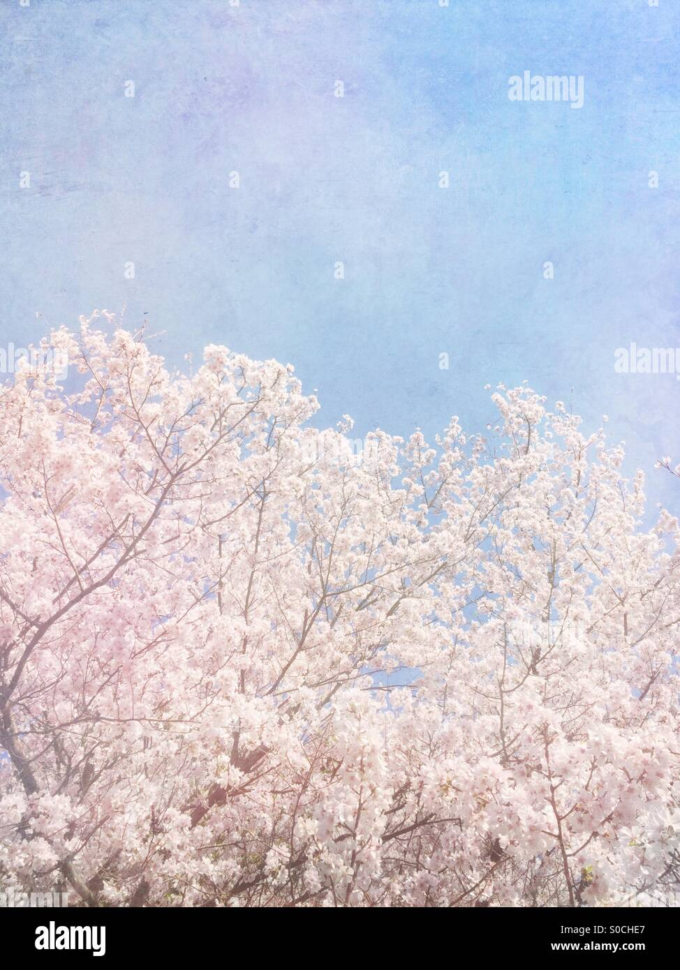 Beautiful white sakura or cherry blossoms in Spring, with soft blue sky and vintage paper overlay. - Stock Image
