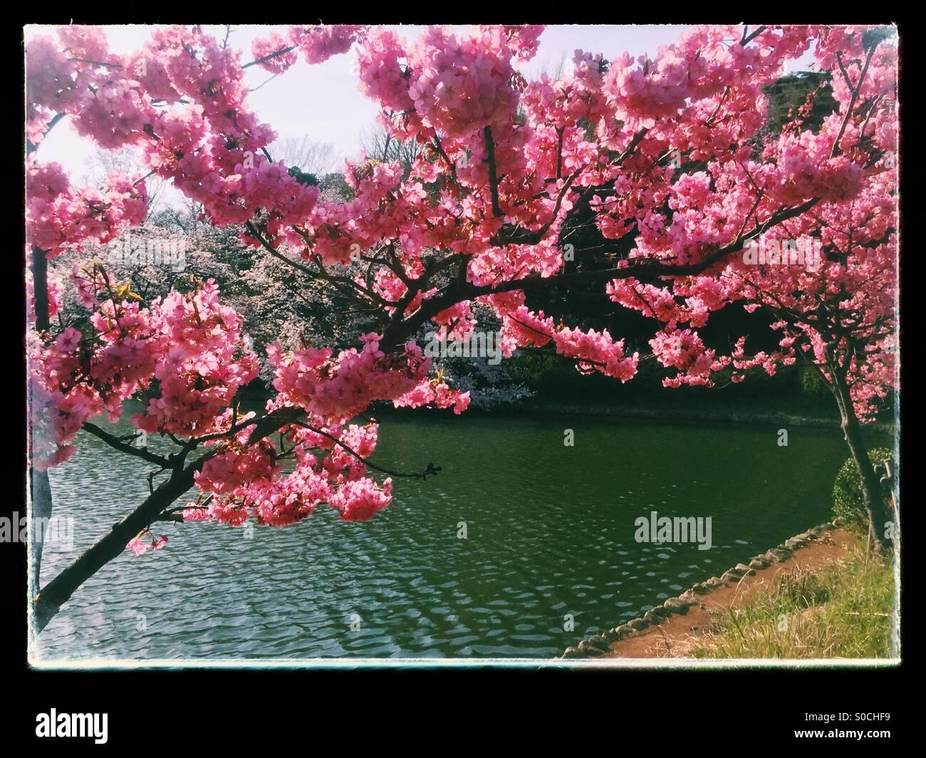 Pond with Yokohamahizakura, a variety of Sakura or cherry blossom with deep pink color. Black vintage frame. - Stock Image