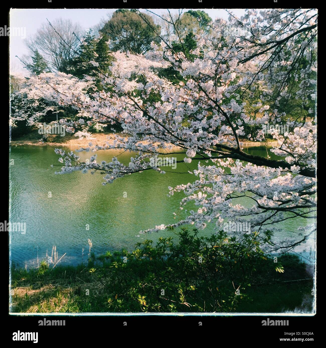 Lovely pond in Spring with white cherry blossoms. Black vintage frame. - Stock Image