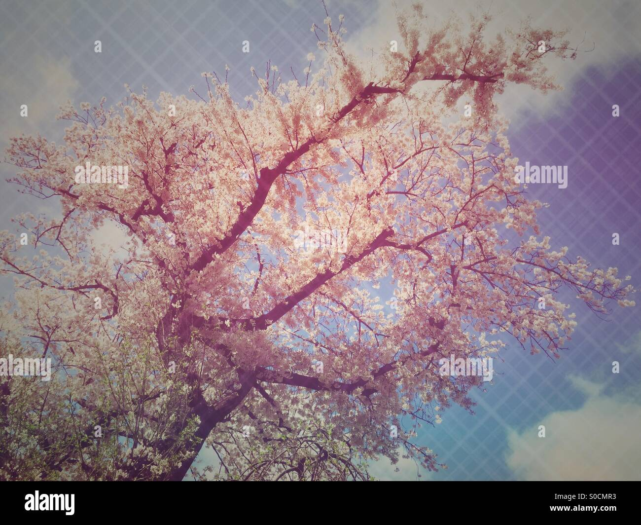 Sakura or cherry blossom tree with light pink blooms, blue sky and white clouds. Diamond knit pattern overlay. - Stock Image