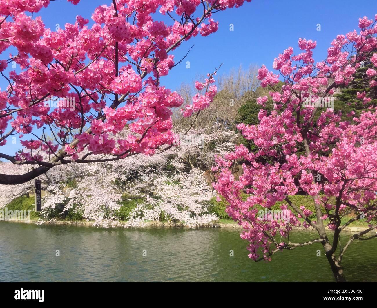 Pond with Yokohamahizakura, a variety of sakura or cherry blossom with deep pink color, and Someiyoshino light pink - Stock Image
