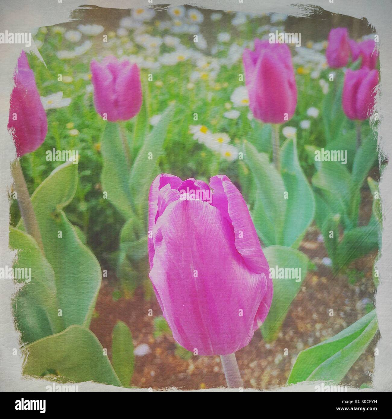 A Spring scene of pretty pink tulips with white asters. White frame with rough edges and painterly texture overlay. - Stock Image