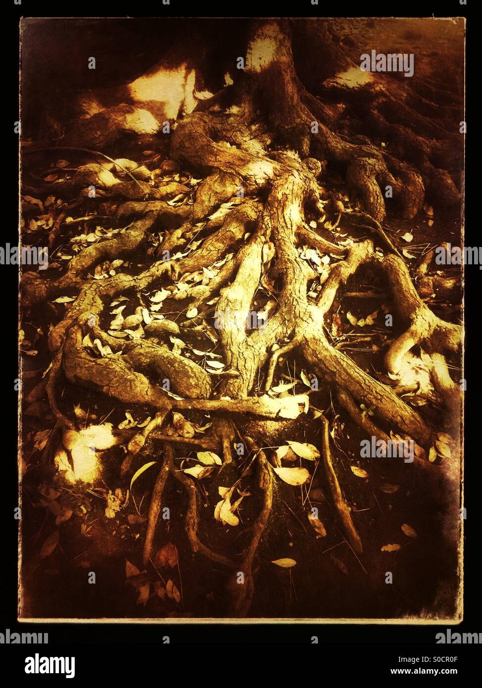Very old tree with convoluted roots, with sunlight streaming through the leaves and onto the root surface. Golden - Stock Image