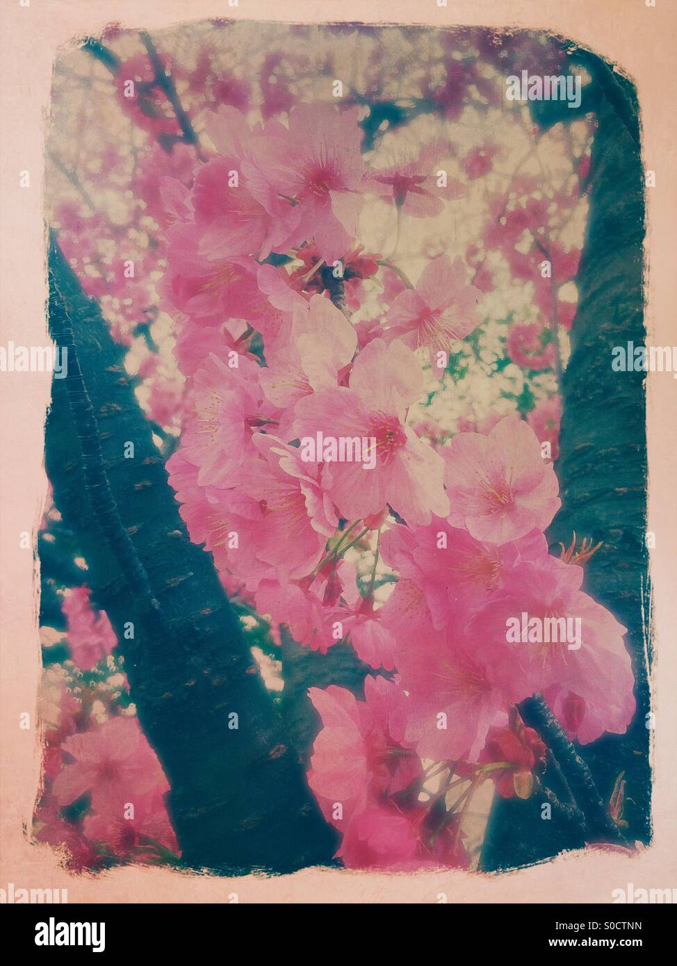 Pretty, pink sakura or cherry blossoms. Painterly  frame with rough edges and vintage texture overlay. - Stock Image