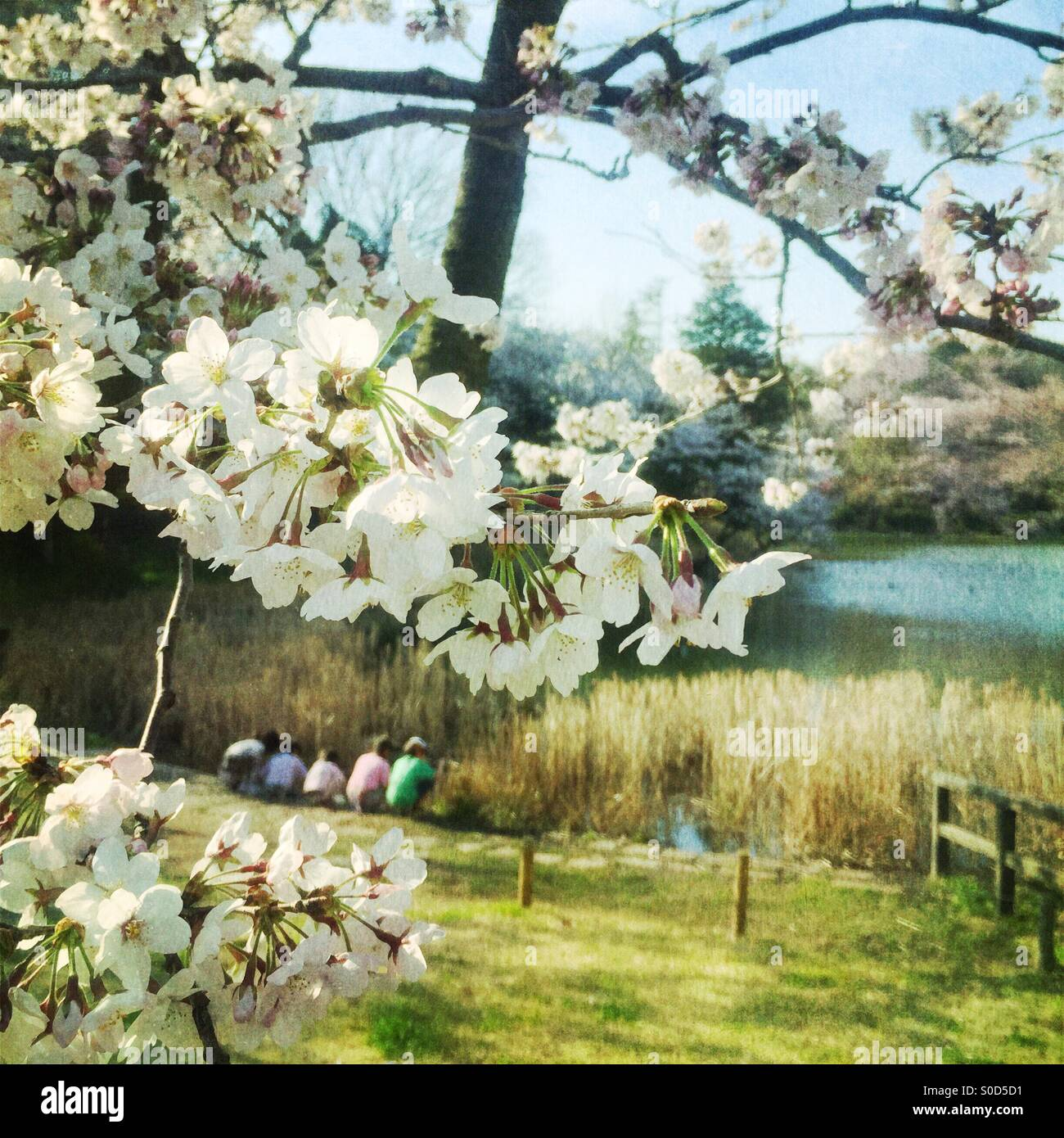 Children play by a pond in Spring with white cherry blossoms in the foreground. Vintage paper texture overlay. - Stock Image
