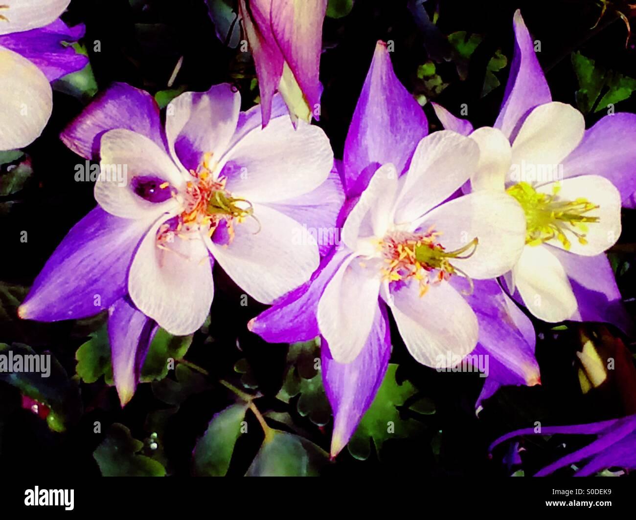 Purple perennial flowers columbine aguilena stock photo 310083517 purple perennial flowers columbine aguilena mightylinksfo