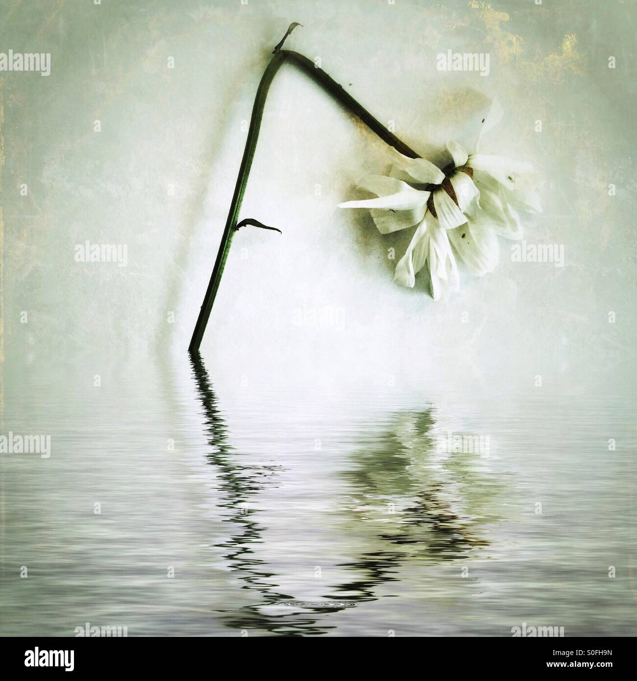'By the Rivers of Babylon' (Concept: Unrequited Love) solitary white ox-eye daisy bends to the water as - Stock Image
