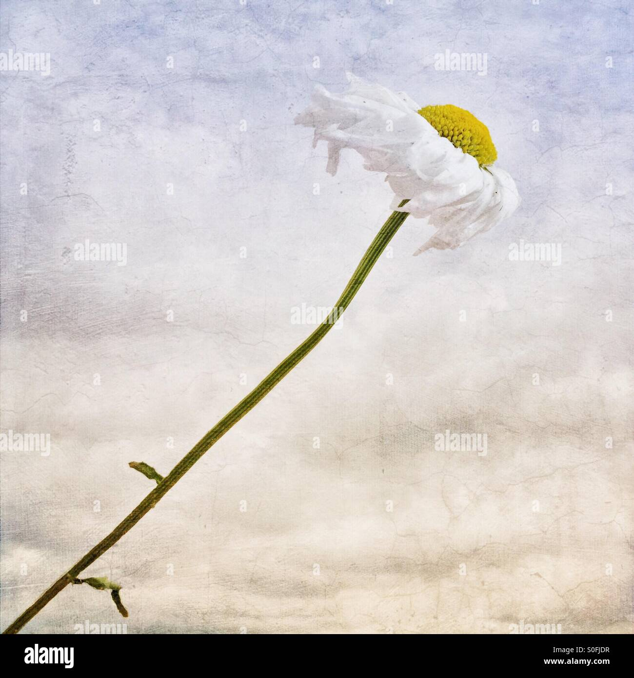 'Making My Own Way' (Concept: Unrequited Love) Solitary daisy leaning forward, as if into the wind. - Stock Image