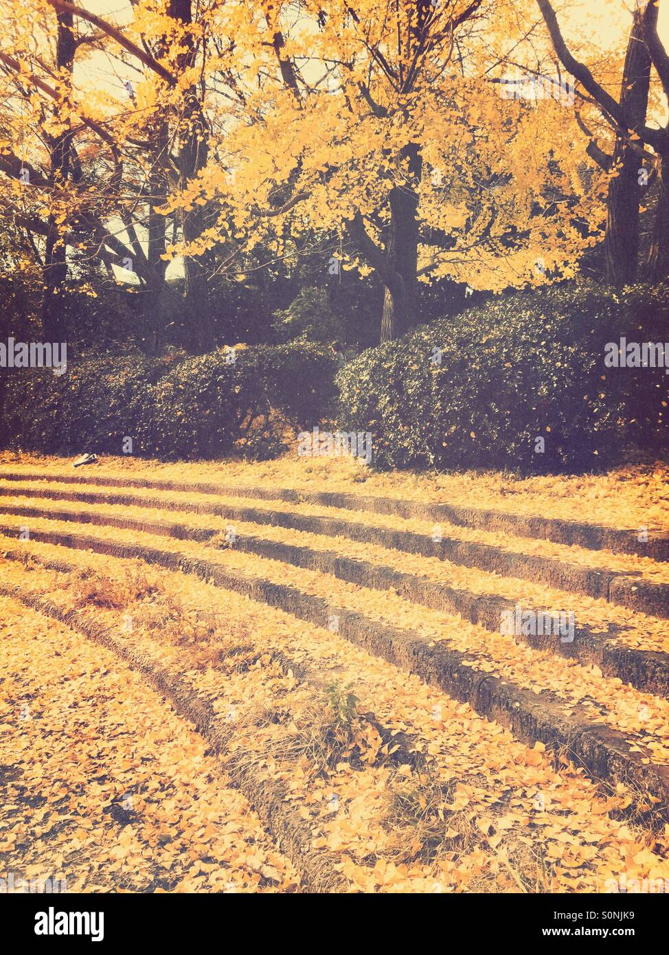 Outdoor stairs at park covered with yellow leaves fallen from Gingko trees. - Stock Image