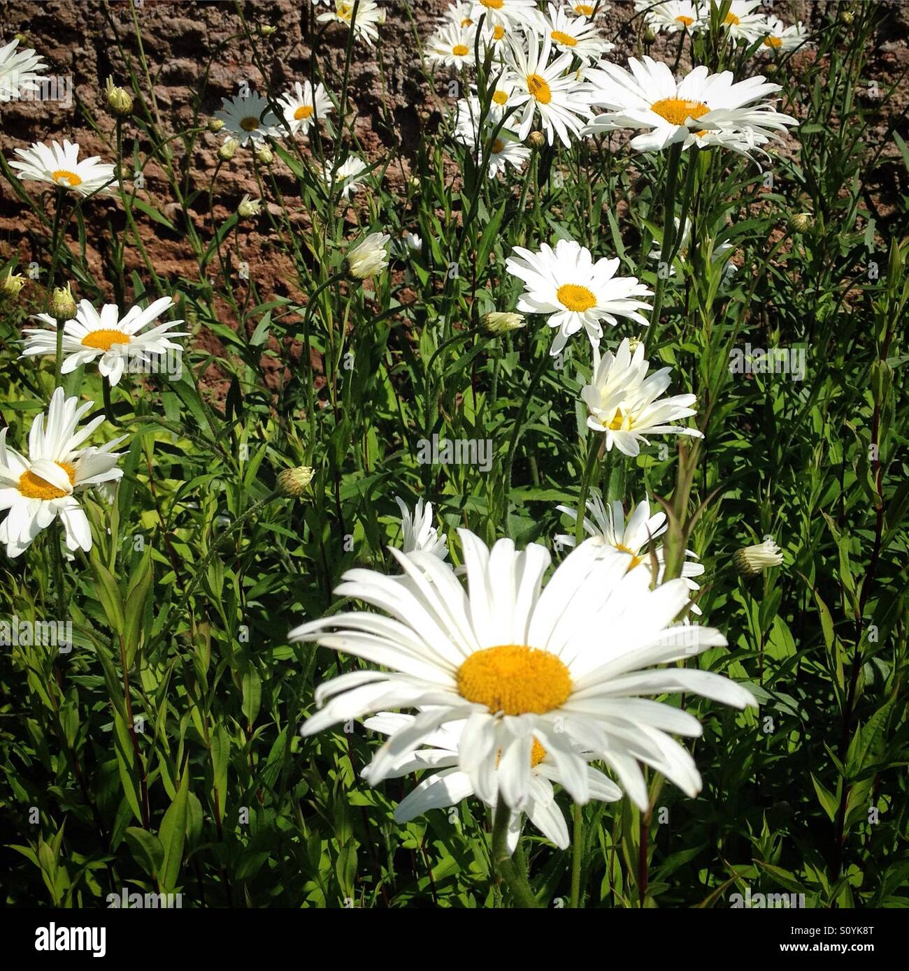 Large daisy stock photos large daisy stock images alamy large daisy type flowers in a summer garden stock image izmirmasajfo Image collections